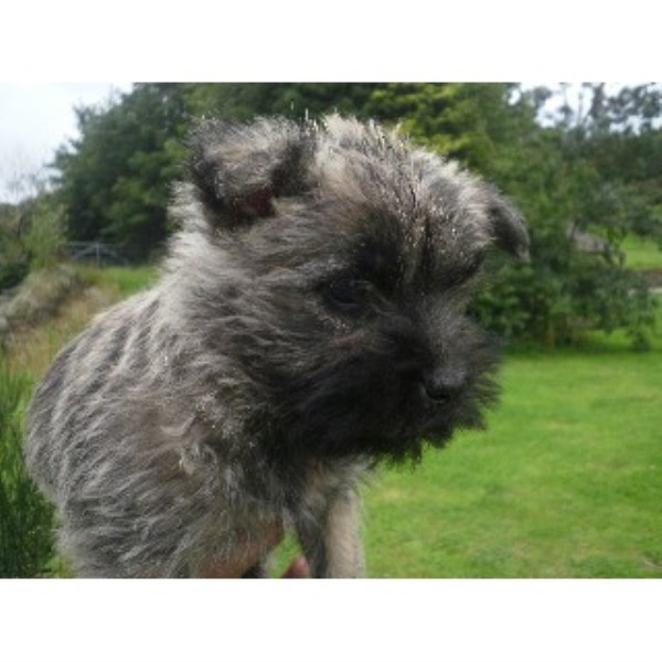 Cairn Terrier Puppies For Sale - Broughton In Furness, Cumbria
