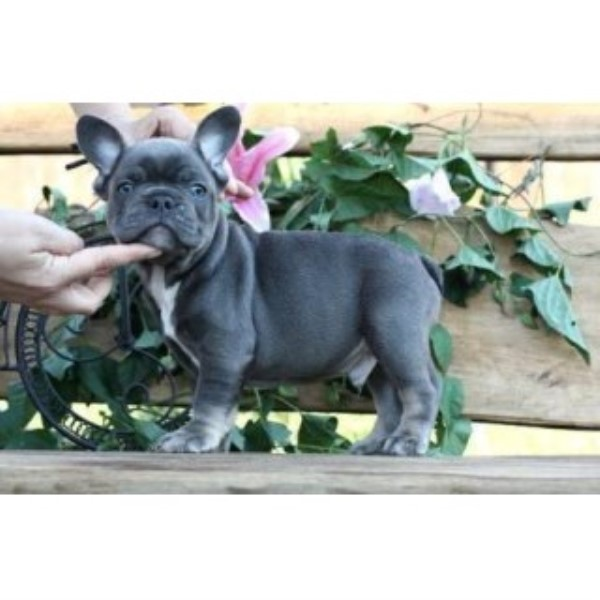 Beautiful Blue French Bulldog Puppies