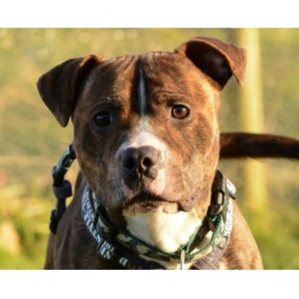 Marley Staffie Dob 2012 Gatwick Kennels Richmond Surrey