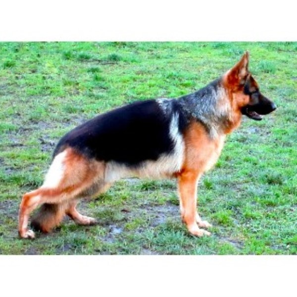 EQUISIDE GERMAN SHEPHERD DOGS