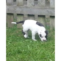 Stunning American Bulldog Pups American Bulldog for sale/adoption