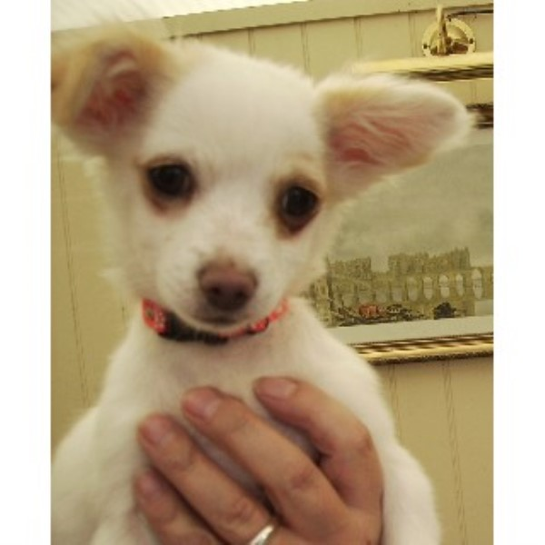 Chihuahua puppy  in Doncaster, South Yorkshire