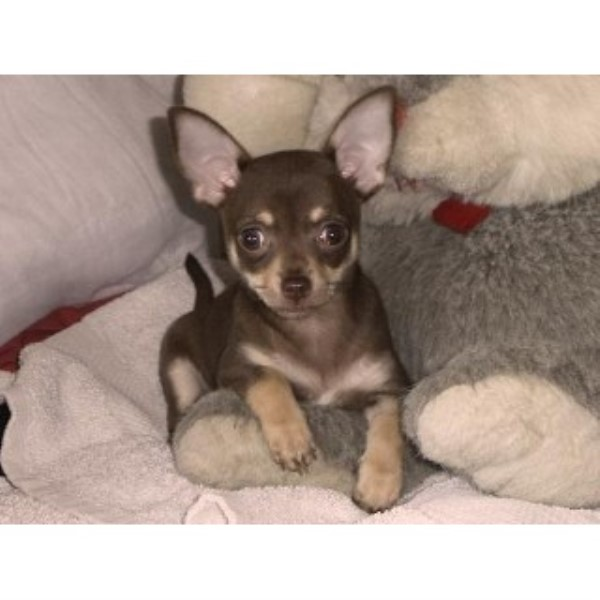 Kc Reg Chihuahua Chocolate Fawn Girl Ready Now