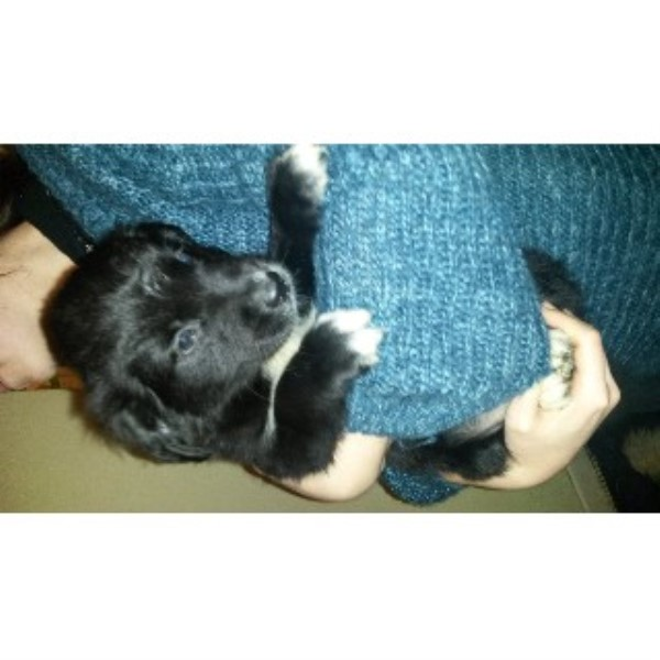 Portuguese Water Dog Puppy For Sale Uk