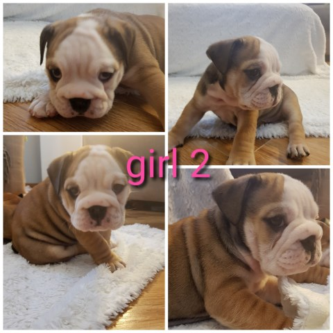 English Bulldog puppy for sale + 36348