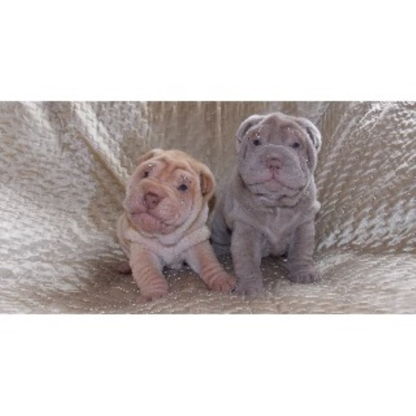 Chinese Shar Pei puppy for sale + 33608