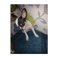 Stunning Tiny Chihuahua Male Puppy Chihuahua for sale/adoption