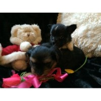 Yorkillon Puppies Yorkshire Terrier for sale/adoption
