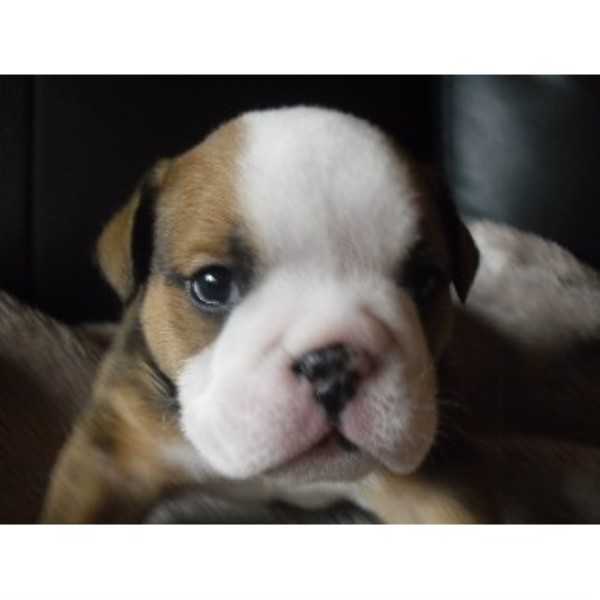 British Bulldog Puppies For Sale, Great Pedigree