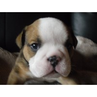 British Bulldog Puppies For Sale, Great Pedigree English Bulldog for sale/adoption