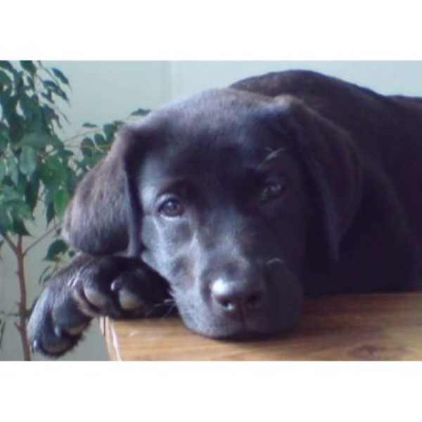 Quality Litter Of Black & Yellow Labrador Puppies