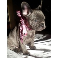 **Blue French Bulldog Puppies** French Bulldog for sale/adoption