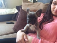 Quality French Bulldog Puppies +448715043795 French Bulldog for sale/adoption