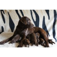 Chocolate Labrador Puppies Labrador Retriever for sale/adoption