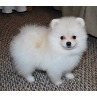 Perfect Pomeranian Puppies For Sale Now Pomeranian for sale/adoption