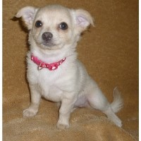 Extra Friendly Chihuahua Puppies!! Chihuahua for sale/adoption