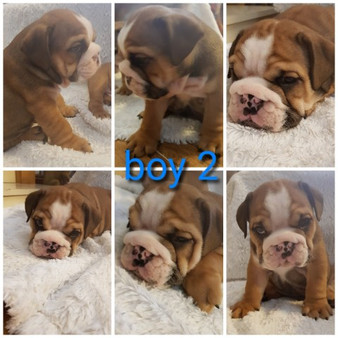 English bulldog pups kc reg champion lines