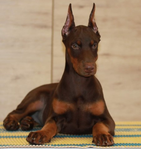 Doberman Pinscher puppy for sale + 36383