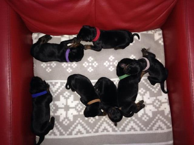 Doberman Pinscher puppy for sale + 36342