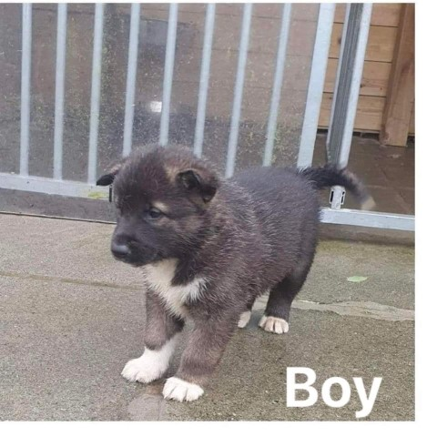 Siberian Husky puppy for sale + 36591