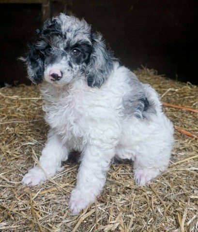 Merle Toy Poodle Puppy