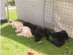 Black And Yellow Labrador Puppies Labrador Retriever for sale/adoption