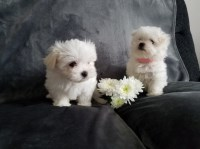 Maltese Puppies for sale near you