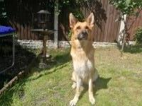 Beautiful GSD currently pregnant. German Shepherd Dog for sale/adoption