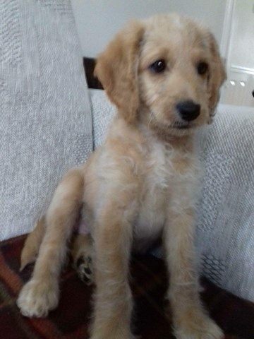 Labradoodle puppy for sale + 36263