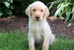 Gorgeous  Labrador Puppy Labrador Retriever for sale/adoption