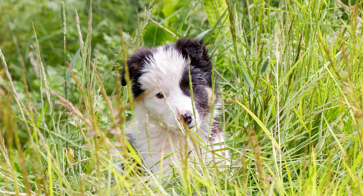 Border Collie puppy in a meadow of tall grass