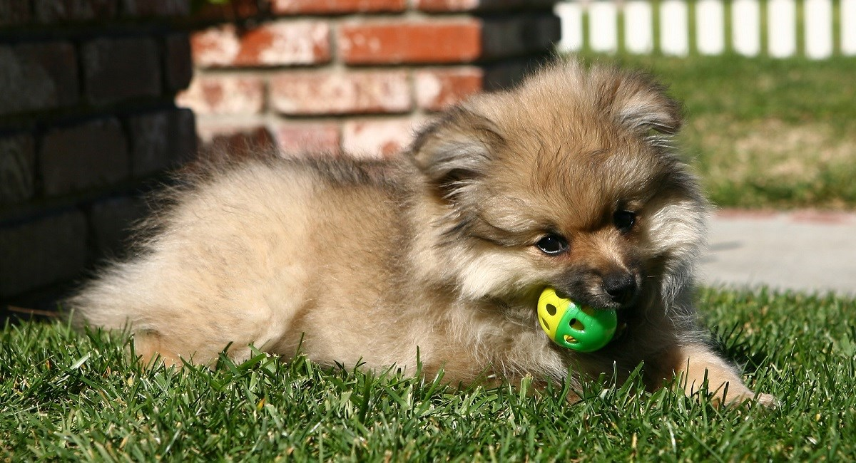 Pomeranian puppy with a ball.