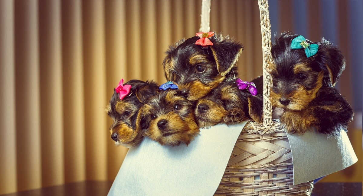 Four Yorkie puppies in a basket