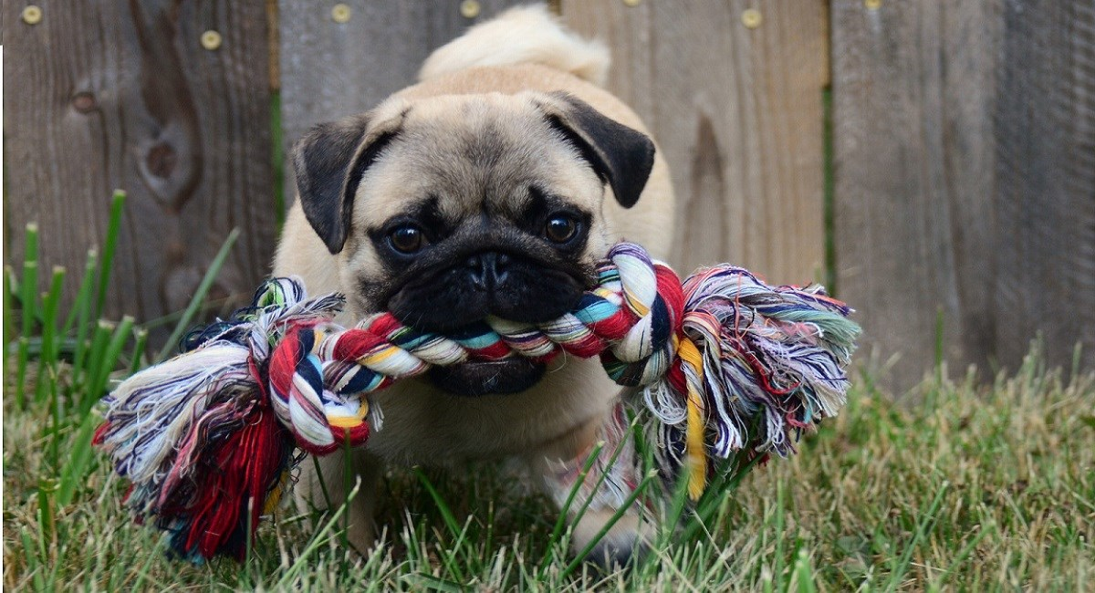 Gorgeous Pug puppy with toy rope in mouth
