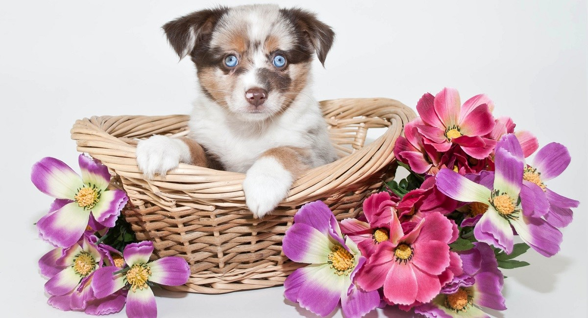 Blue Eyed Australian Shepherd puppy