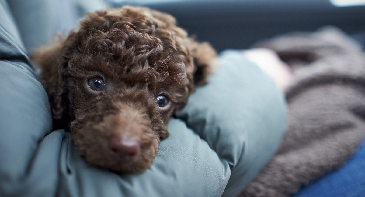 Brown Poodle puppy in owners lap