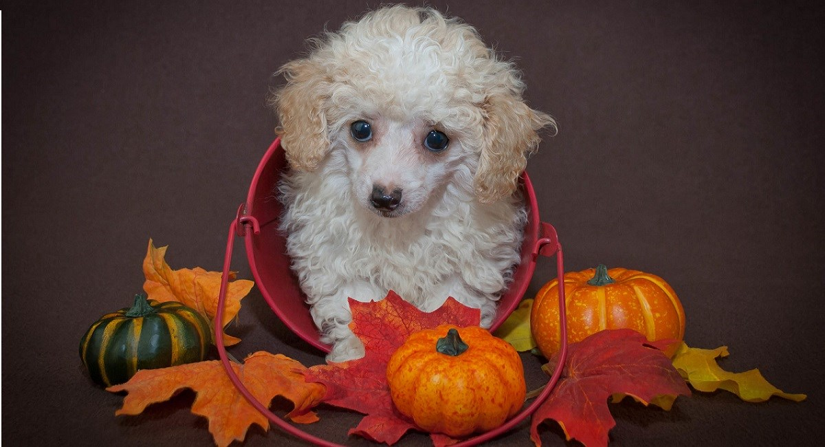 White poodle with pumpkins by side