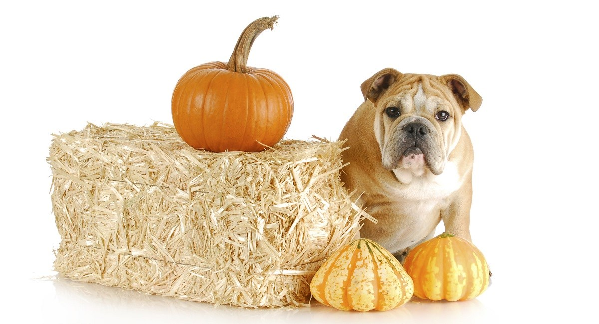 English Bulldog puppy - Halloween
