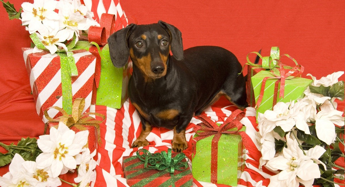 Dachshund with Xmas presents