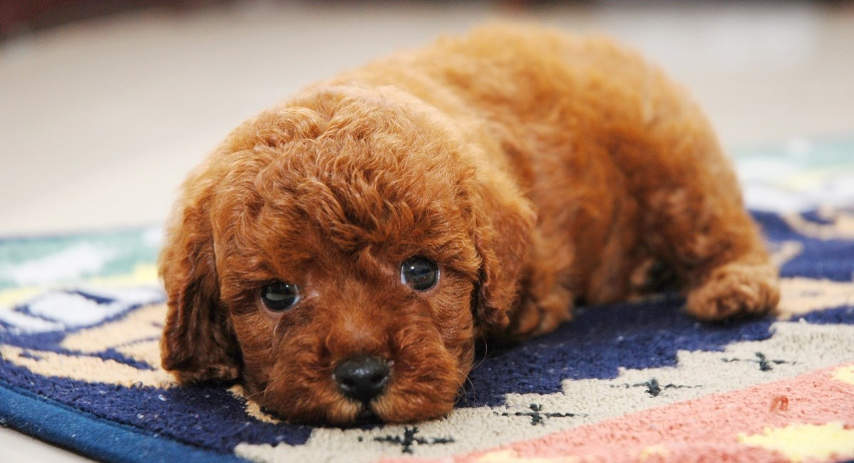Red Poodle with gorgeous brown eyes