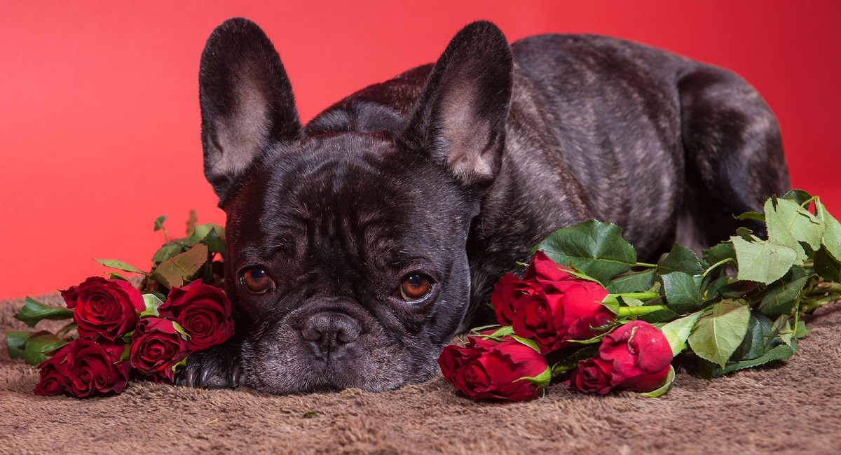 Boston Terrier with gorgeous brown eyes and roses