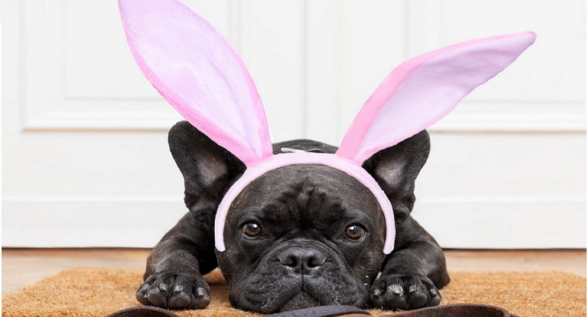 Black Pug puppy with rabbits ears.
