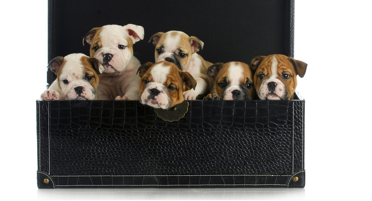 English Bulldog puppies sitting in a suitcase