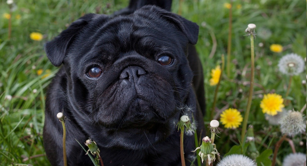 Black pug puppy in a meadow