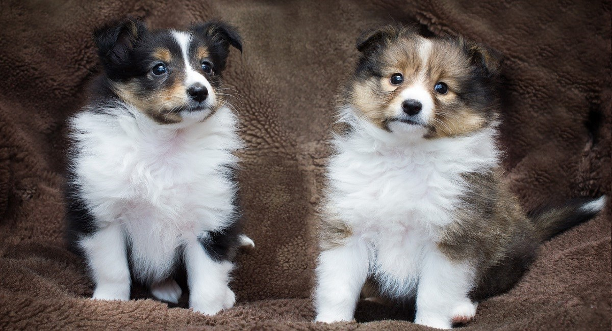 Two Sheltie puppie one black and tan and the other sable