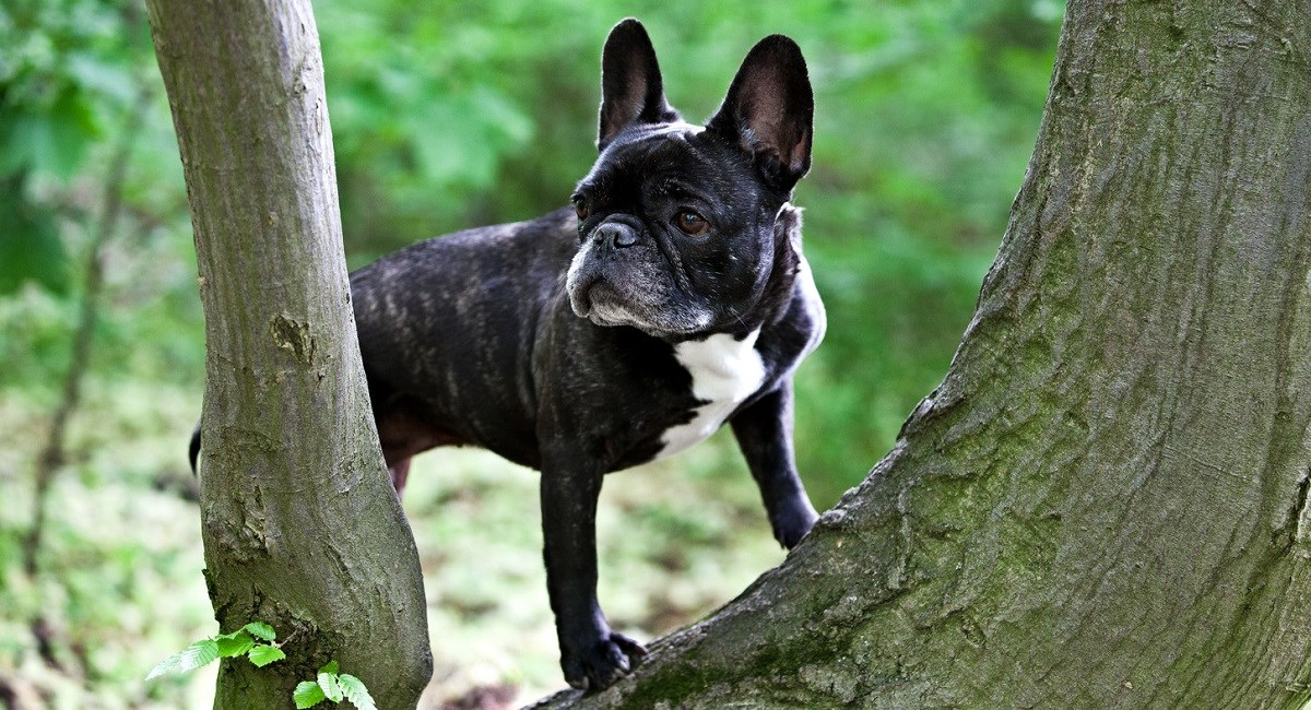 Boston Terrier puppy stuck in a tree