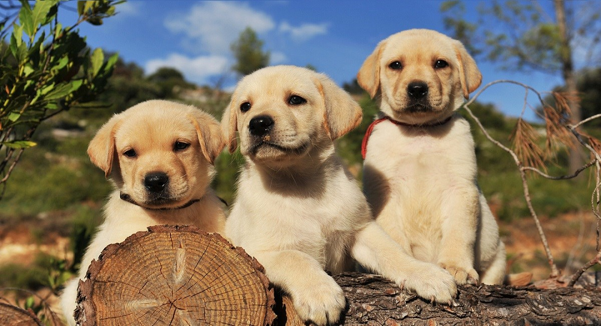 Cute yellow Labrador puppies sitting on a log