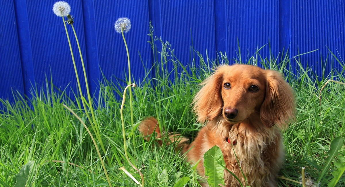 Long Haired Dachshund Puppy in dandelions.