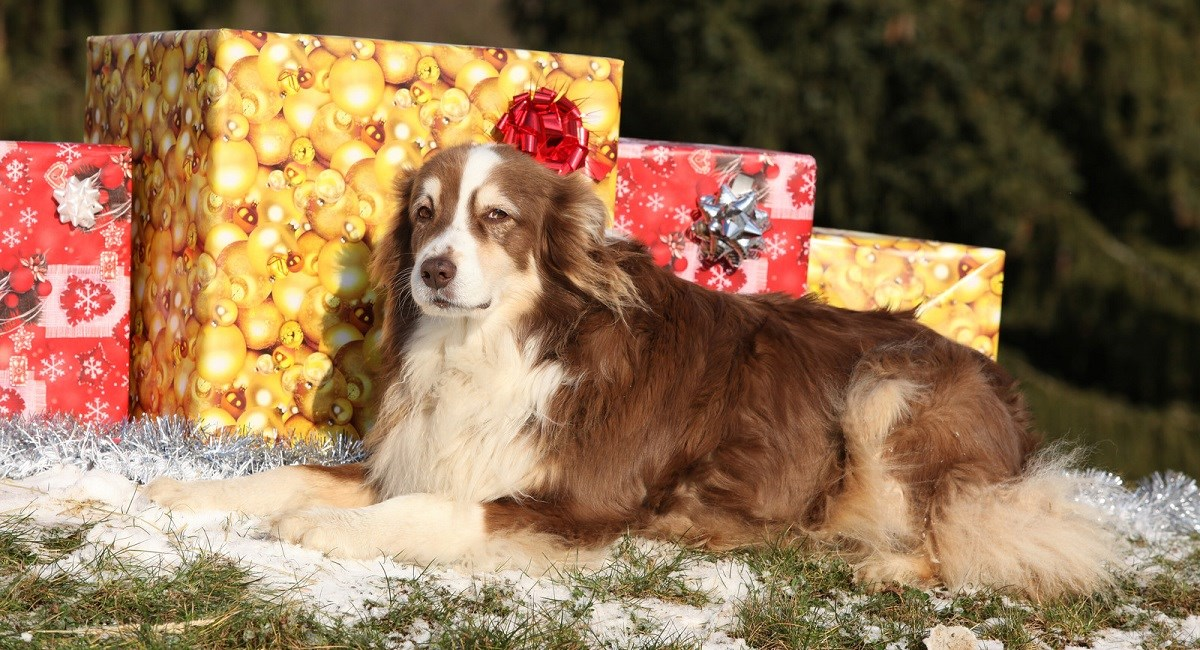 Australian Shepherd Dog sitting with Chrismas presents
