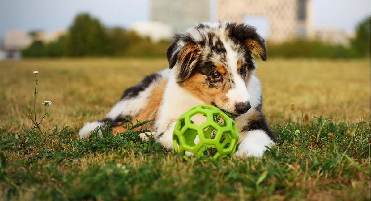 Australian Shepherd puppy guarding his toy